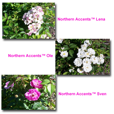 Northern Accents Lena, Northern Accents Ole, and Northern Accents Sven